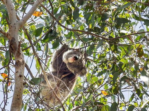HiRes Baby Koala