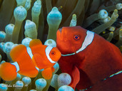 Indonesia Clown Fish Pair
