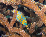Indonesia Fish in ElkHorn Coral