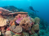 Indonesia mixed coral reef with diver