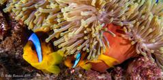 Anemone Fish Red Sea.jpg