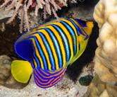 Royal Angelfish Red Sea.jpg