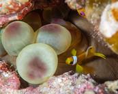 Juvenile Anemonefish.jpg