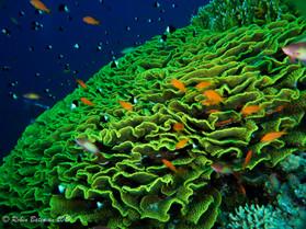 Anthias over Salad Coral.jpg