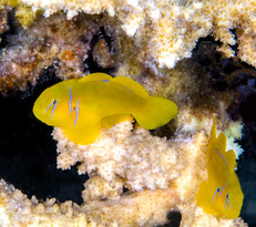 Yellow Goby Red Sea.jpg