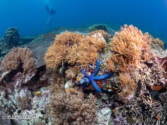 Indonesia Blue Starfish on reef