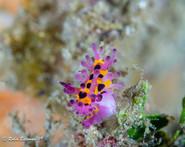 Indonesia nudibranch.jpg