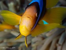 Red Sea Anemonefish.jpg