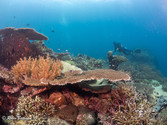 Indonesia Coral Reef with Diver