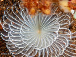 Indonesia Tube Worm