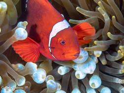 Spine Cheek Anemone Fish Indonesia
