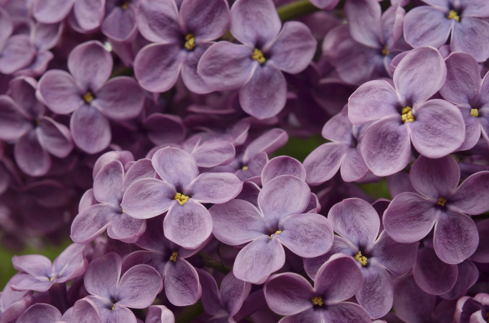 lilac-4158954_1920