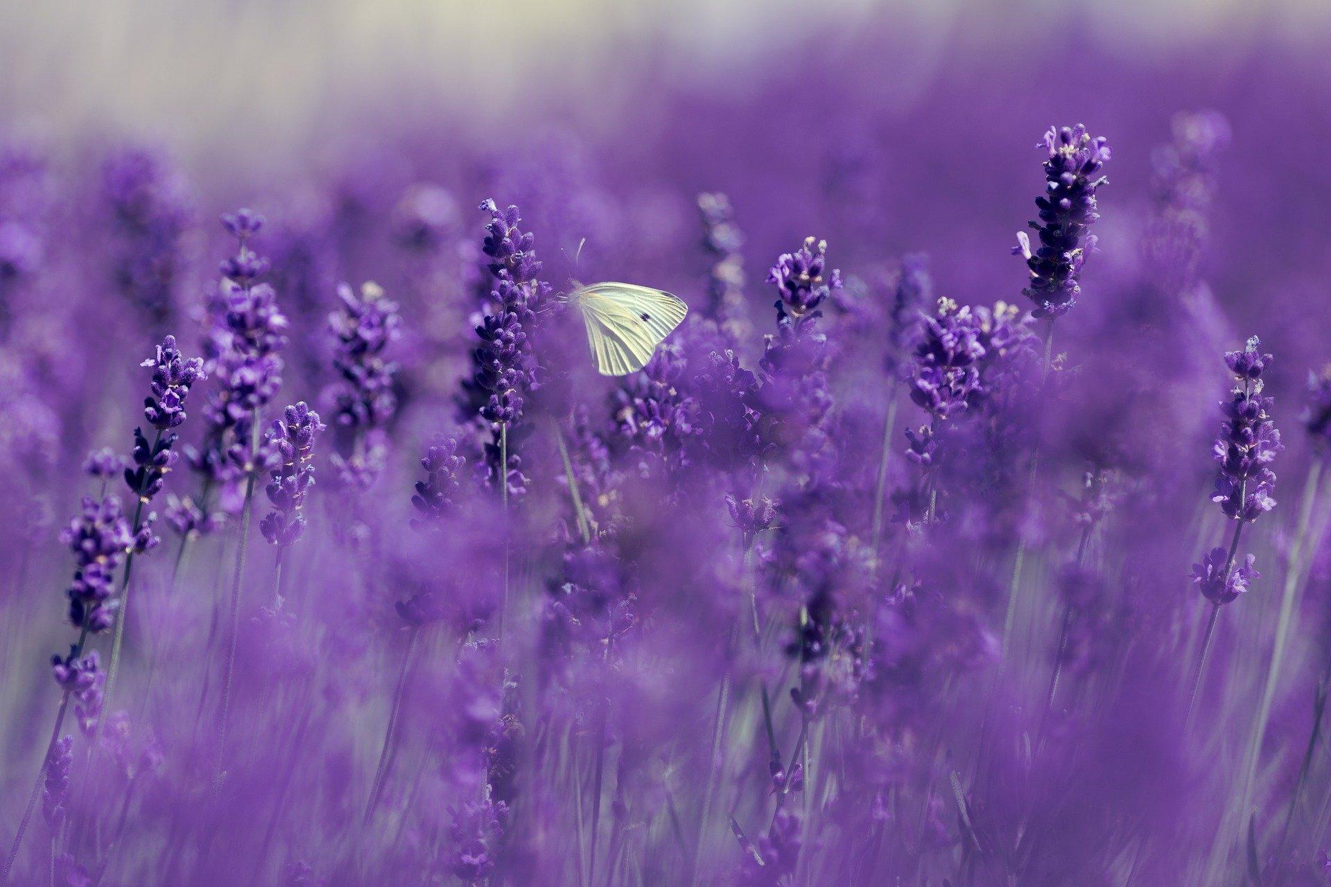 lavender-4186957_1920