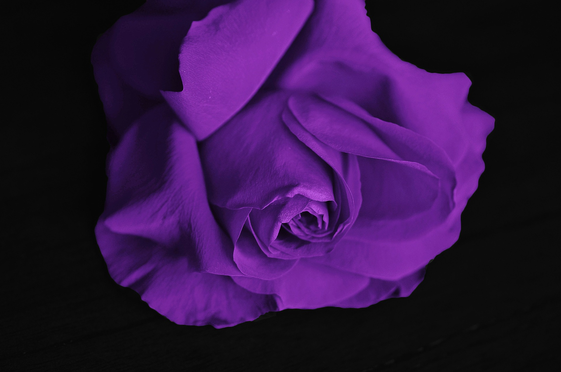 roses-292595_1920