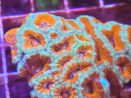 New shipment of coral!  Come by & check them out. Great selection of Hammers, Frogspawn, Torches