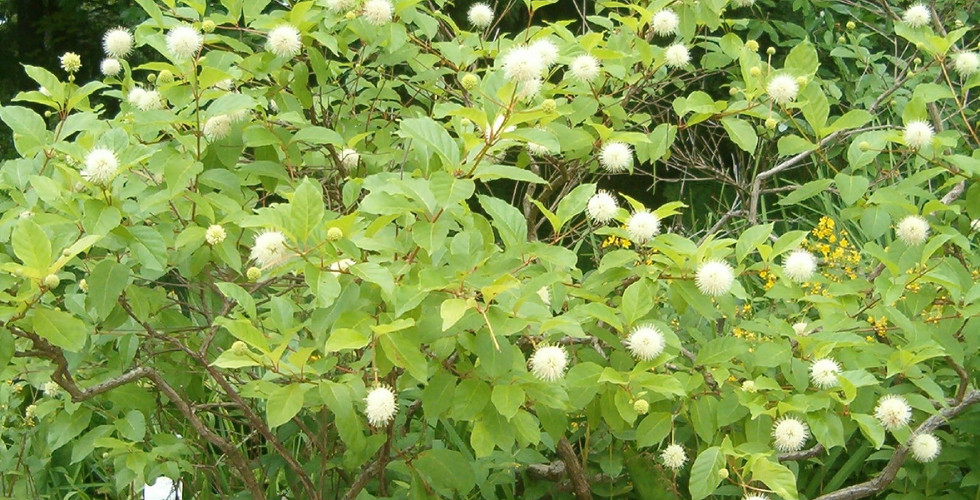 Replace with Buttonbush