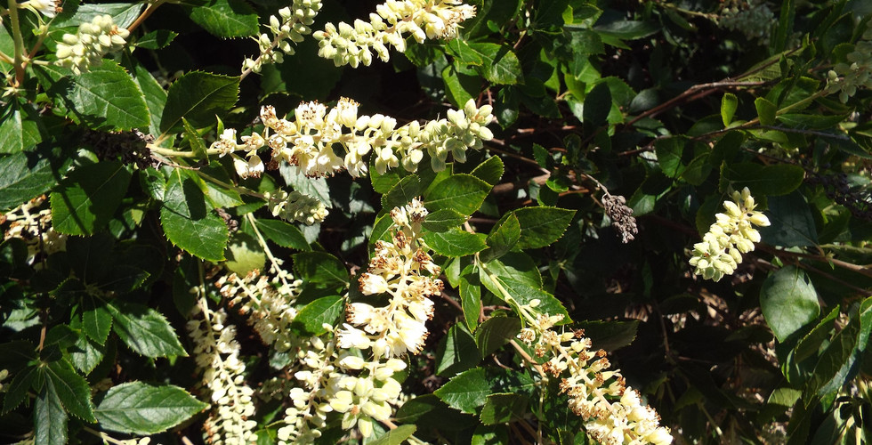 Replace with Sweet Pepperbush