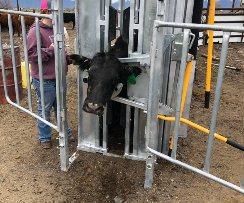 Premium Cattle Squeeze Chute