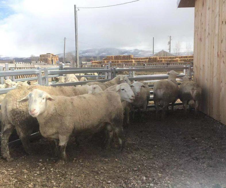Sheep Panels