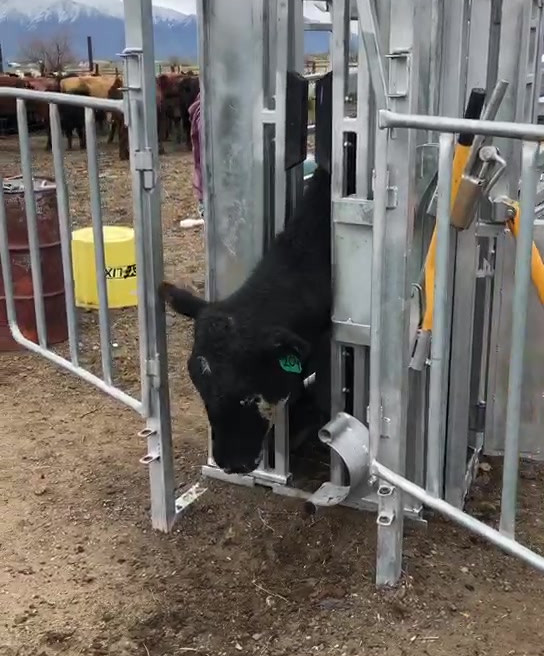 Premium Cattle Squeeze Chute Video