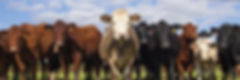 CowsForSubscribePage.jpg