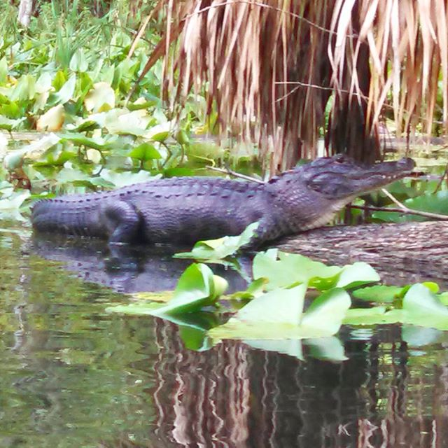 This is one of the many (friendly) gators seen yesterday on Silver River #silverriver #florida #flor