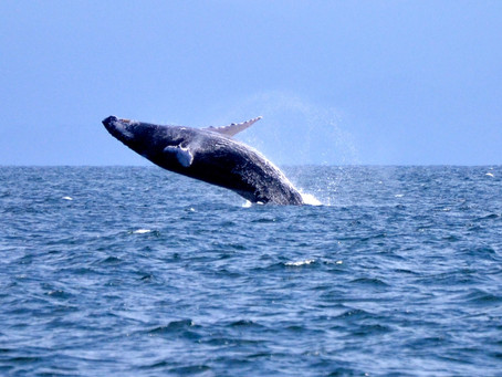 Le carnaval et les baleines à bosse, les stars du mois de février en République Dominicaine
