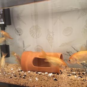 金魚とダイブと私。