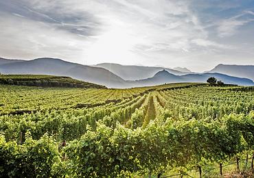 Vineyard in Italy