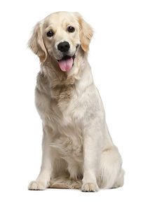 Dog-Golden_Retriever-A_Golden_Retriever_
