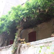 La glycine bicentennaire -The bicentennial wisteria