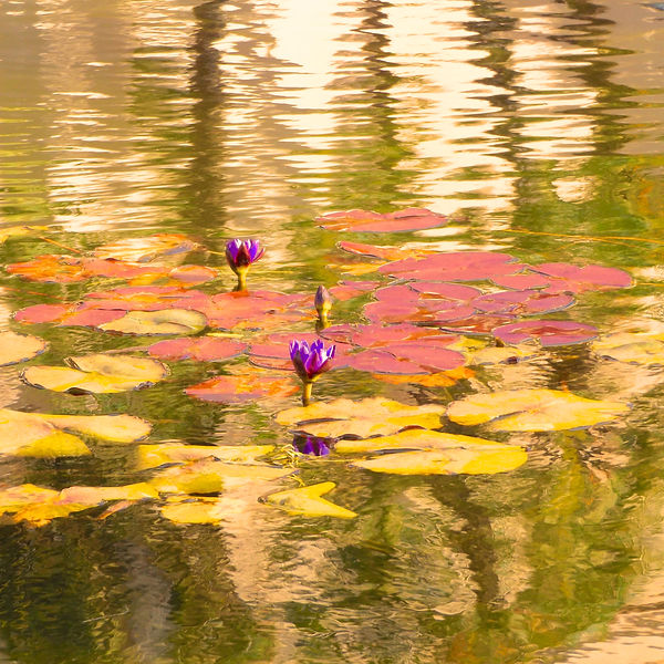 Waterlilies XII.jpg