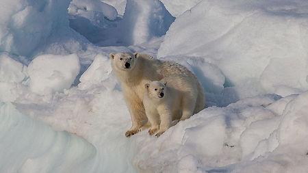 Female_polar_bear_(Ursus_maritimus)_with