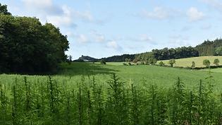 hemp-field-carbon-capture.png