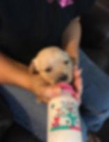 Puppy being bottle fed by LSPCA volunteer