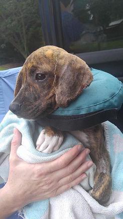 Sophie - Burned pup