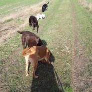 Follow the leader - dog walk