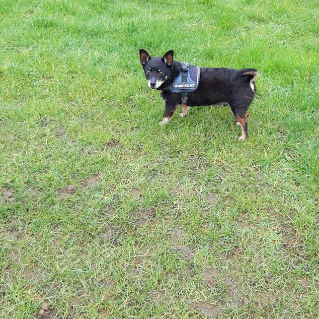 Cherries Pet Services dog walk