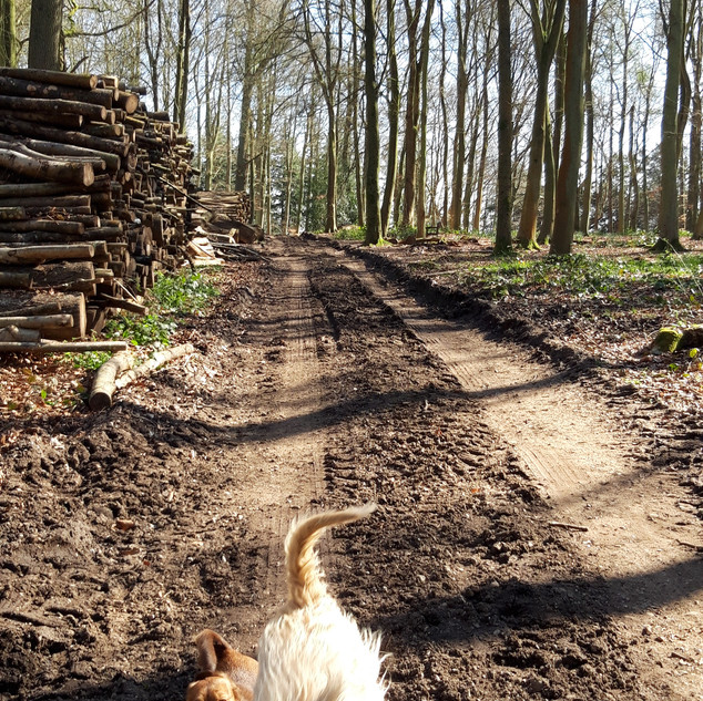 Woodland dog walk