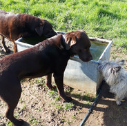 Thirsty work for the dogs