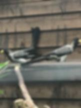 Western grey plantain eater