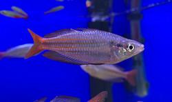Splendid Rainbowfish