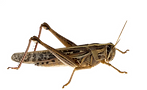 FAVPNG_insect-caelifera-acrididae-migrat