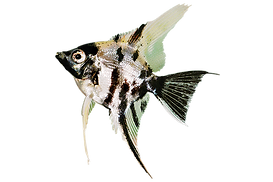 angelfish-marble.png