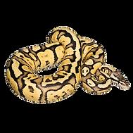 ball-python-png.png