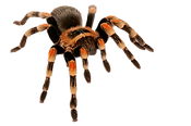 spider_PNG37.png