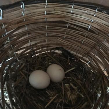 Turaco eggs