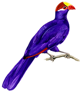 Violaceous Turaco