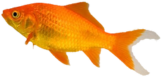 goldfish-food.png