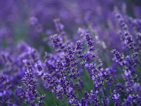 Lavender Blue Dilly Dilly